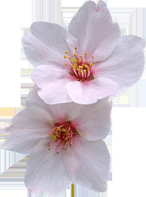 Пионы цветы пнг 5